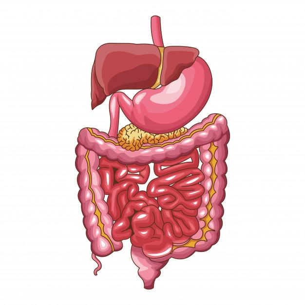 El recorrido del chicle en nuestro sistema digestivo